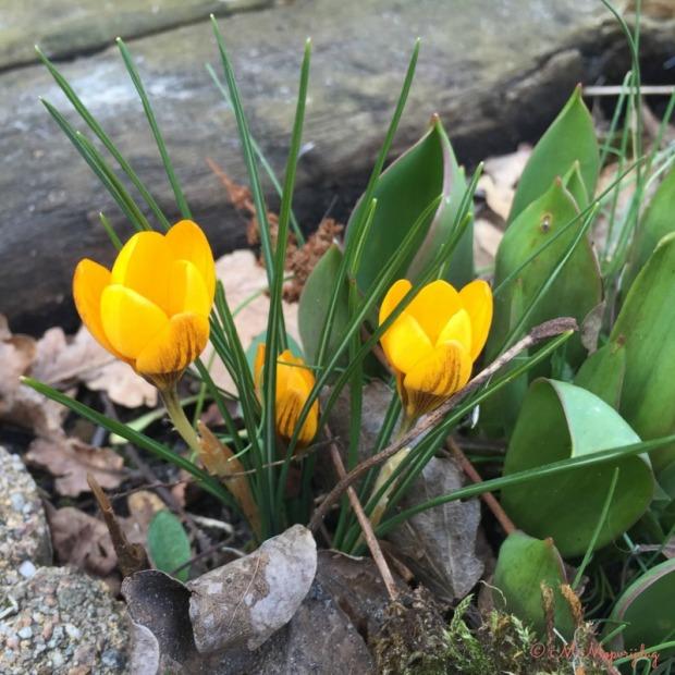 Voorjaar_krokus