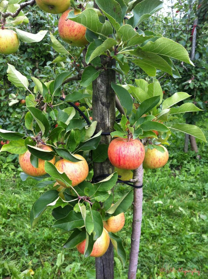 Appels plukken Olmenhorst